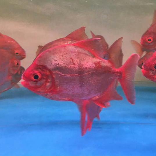 绵阳玫瑰银版鱼