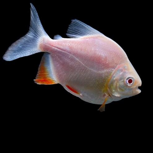 绵阳白子银版鱼