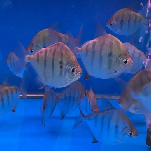 绵阳虎纹银版鱼