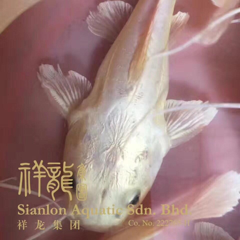 绵阳黄金猫鱼