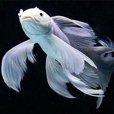 绵阳蝴蝶鲤鱼