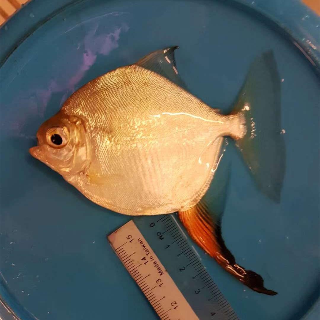 绵阳红勾银板鱼 混养鱼(绵阳龙鱼配鱼)