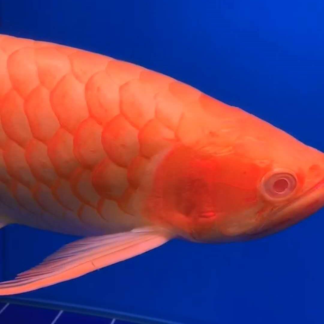 绵阳白子红龙鱼